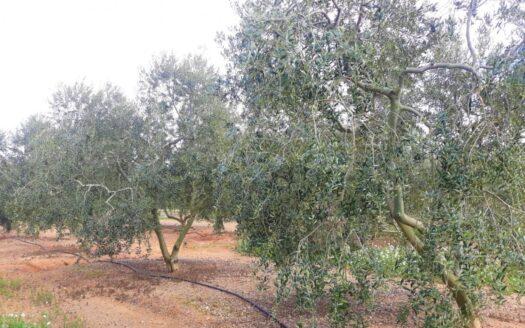 FINCA RÚSTICA CON PLANTACIÓN DE AVELLANOS Y OLIVOS EN REUS